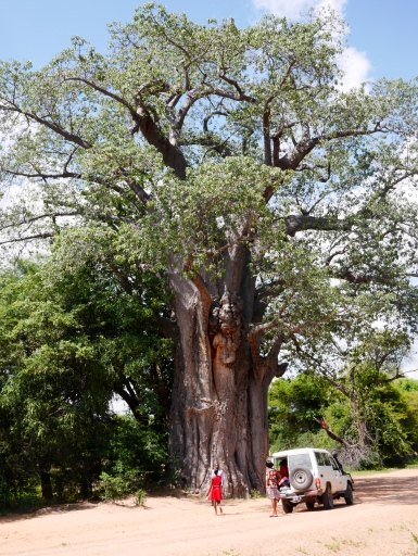 'Beomusokwe', an ancient baobab near Binga. They can live up to 1,000 years.