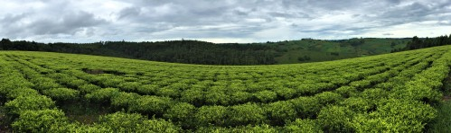 Tea Plantation near Mbeya
