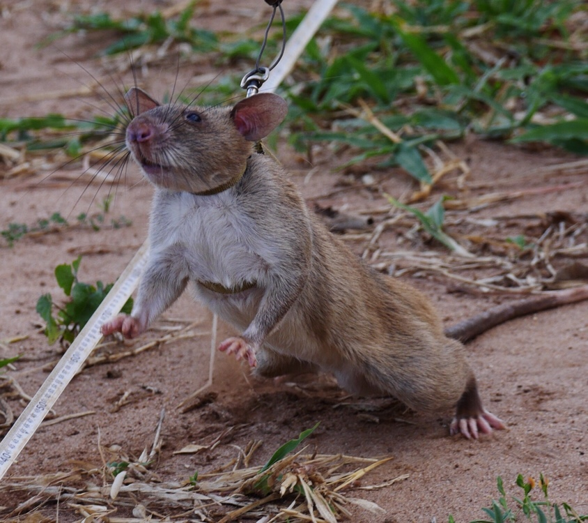 HeroRATs – ridding the world of landmines andtuberculosis